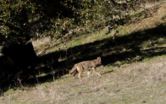 Coyote on hill outside school
