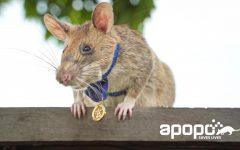 Award winning rat wearing medal
