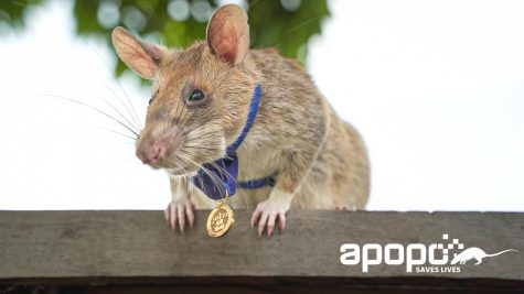 Award winning rat wearing medal