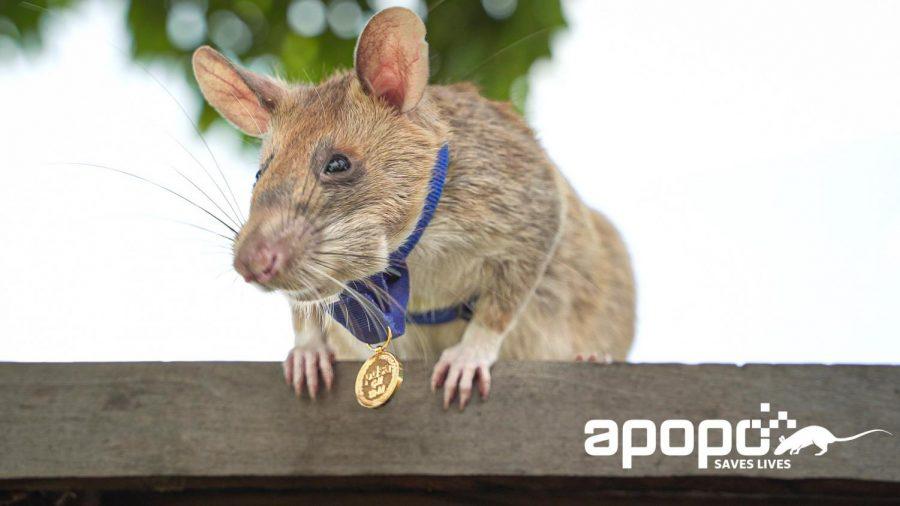 Award+winning+rat+wearing+medal